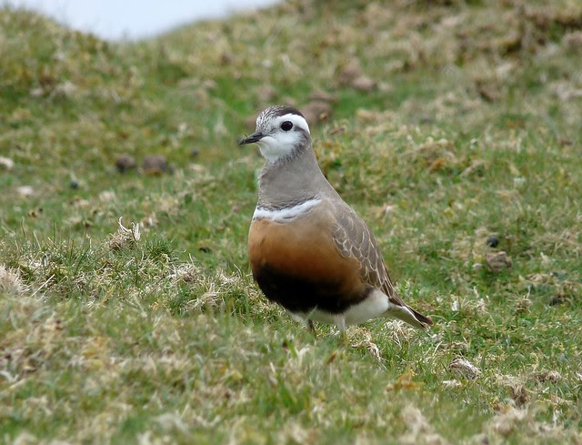 12420 - Dotterel at Cefn Cadlan
