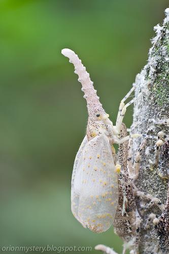 newly emerged adult zanna sp. lantern bug IMG_5514 copy