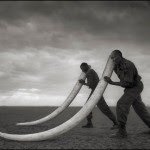 Rangers Supporting Tusks, Amboseli 2011