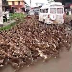 מאות ברווזים גרמו לפקק בכביש ראשי בהודו - וואלה!