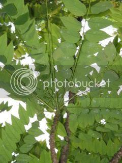 daun cermai untuk kulit berminyak