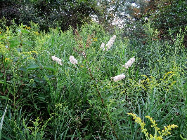 narrowleaf meadowsweet