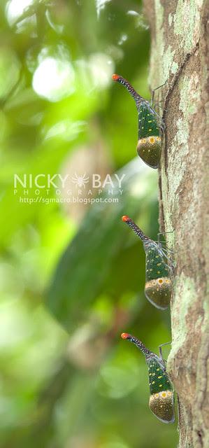 Lantern Bug (Pyrops pyrorhyncha) - DSC_4415