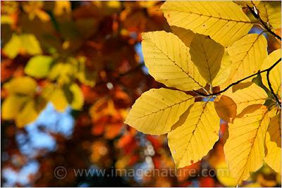 Beech (Fagus sylvatica) coloured leaves