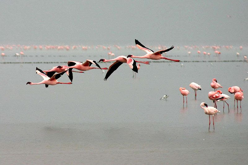 File:Lesser-flamingos-flying.jpg