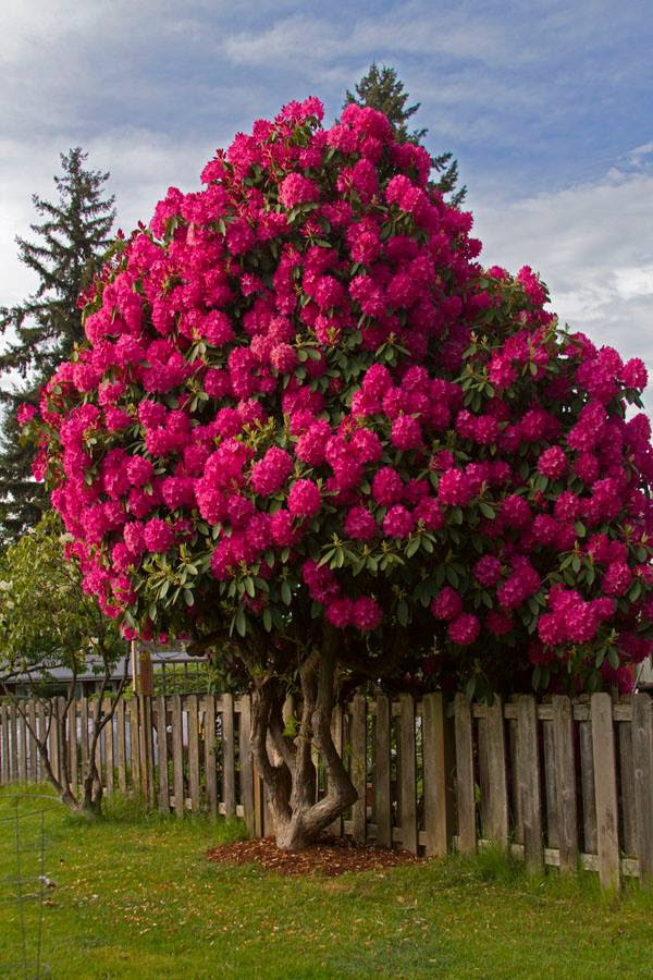 363864,xcitefun rhododendron tree 5
