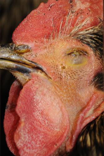 blind rooster_9681 web