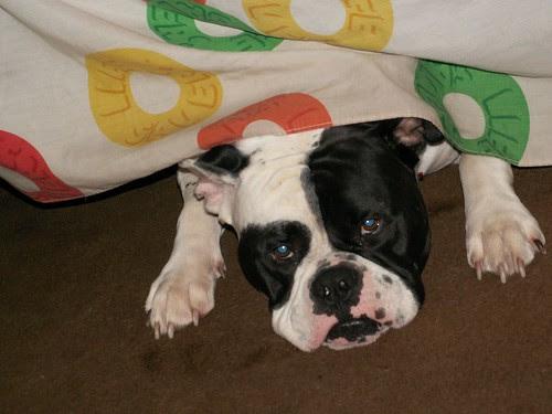 bad dog hiding under bed