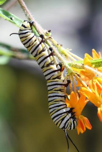 larva eating flower