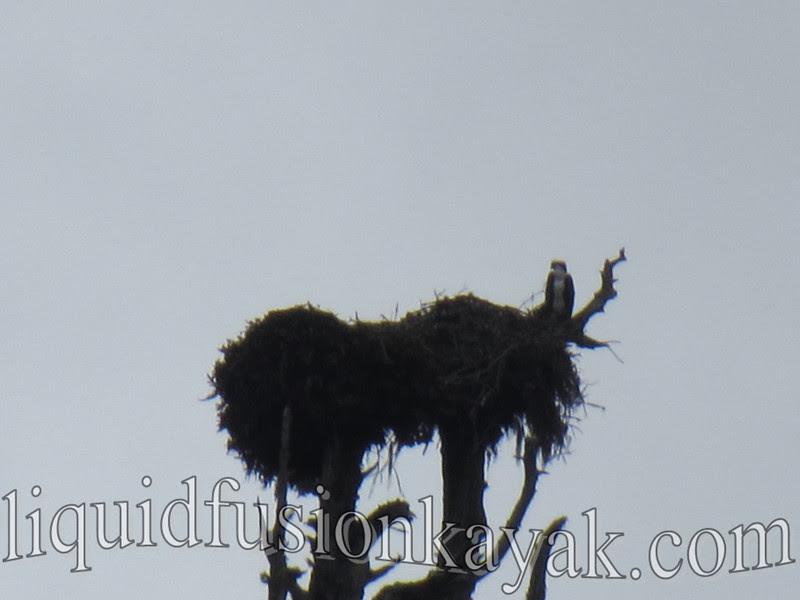 birding, osprey, noyo, river, kayak, tour, mendocino