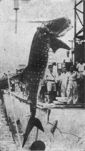 WhaleSharkTanjongRhu