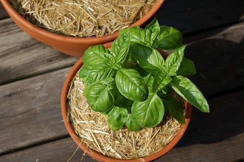 Basil plant by Eve Fox, Garden of Eating blog, copyright 2012