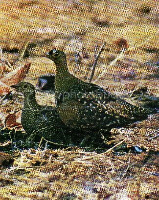 Pg9-7, DOUBLE-BANDED SANDGROUSE