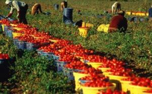 raccolta pomodori I disoccupati nella rete dei trafficanti di esseri umani