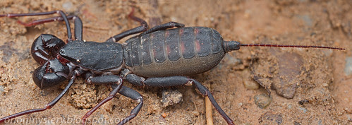 Vinegaroons aka whip scorpion...IMG_5477 merged copy