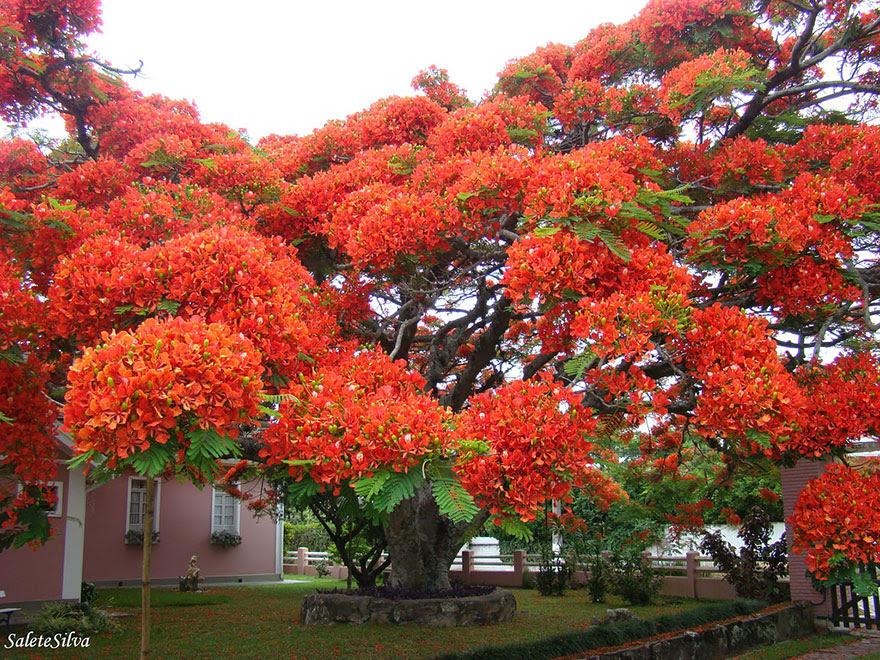 The flamboyant tree, Madagascar.  By Salete T Silva