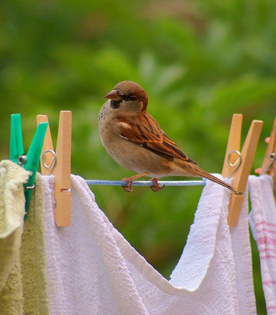sparrow-on-clothesline