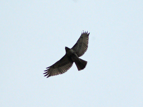 Red-Tailed Over North Meadow