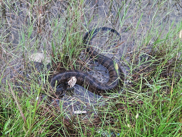 Cottonmouth 20130804