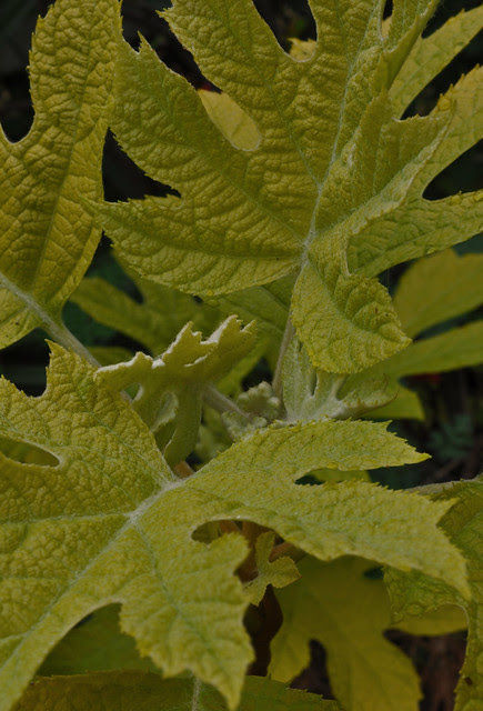 Hydrangea quercifolia 'Little Honey'