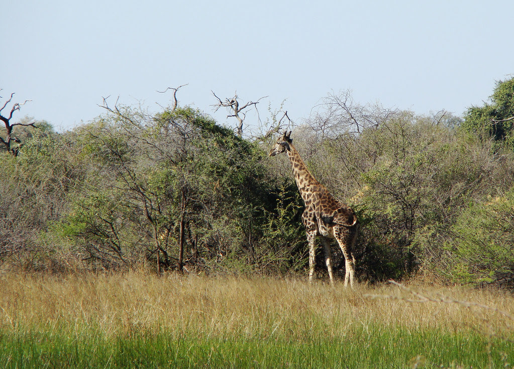 DSC08312 Giraffe at Chiefs Camp
