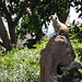 San Diego - Meerkat sentry