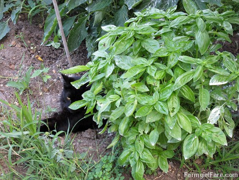 (22-13) Mr. Midnight relaxing by some basil in the kitchen garden - FarmgirlFare.com