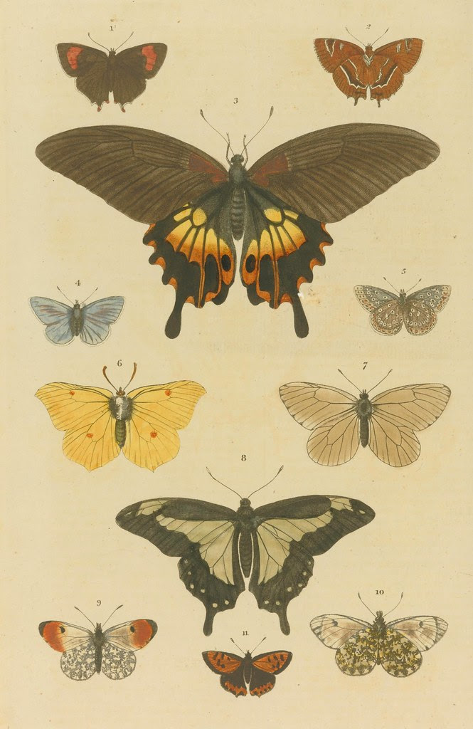 Butterfly species - engraved, in symmetrical pattern on page