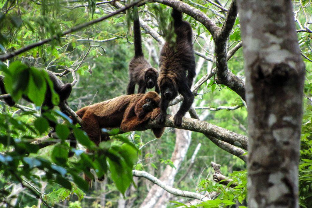 Centenas de bugios-marrons foram mortos pelo vírus da febre amarela. Foto: Carla Possamai/Projeto Muriqui de Caratinga