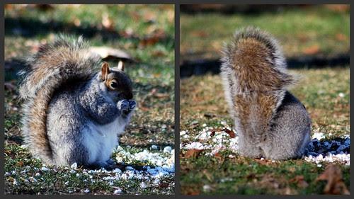Salem Willow Squirrels