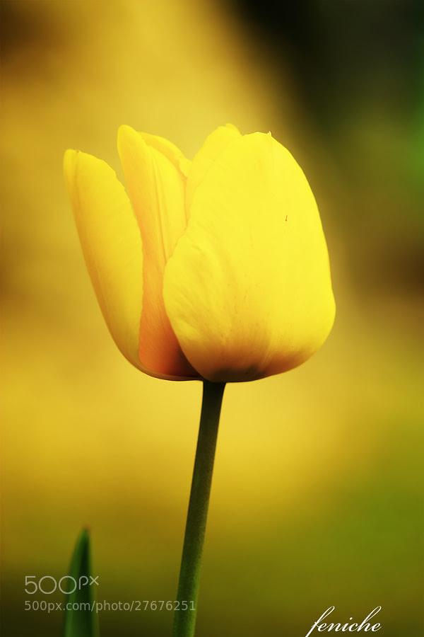 Фотография Tulipan по Фениче Фернандо на 500px