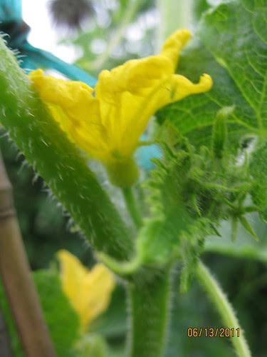 cucumber flower, male
