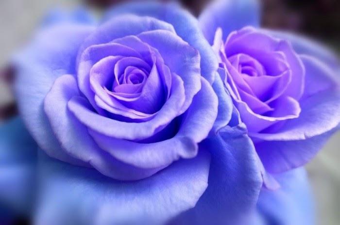 42+ Gambar Bunga Mawar Warna Ungu Paling Modern Dan Nyaman