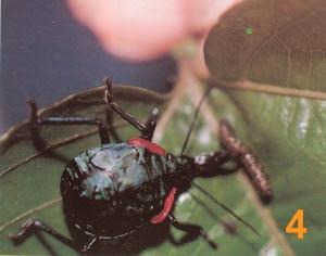 Hemiptera devorando lagartas num pé de maracujá - 04