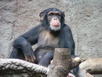 gina la chimpancé que le gustan las peliculas pornográficas
