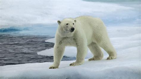 polar bear hd wallpaper wallpaper studio  tens