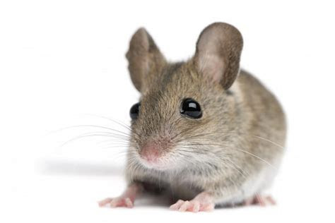 Pest Control Mice   Plunkett?s Pest Control
