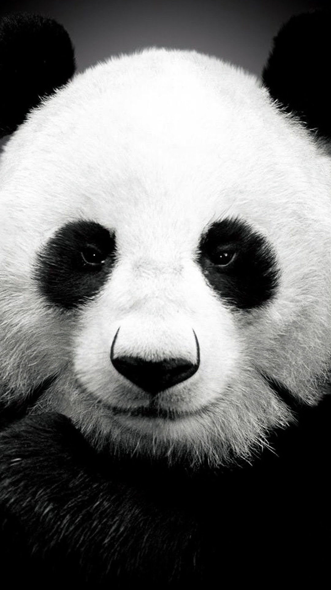 Panda bear  Best htc one wallpapers, free and easy to download