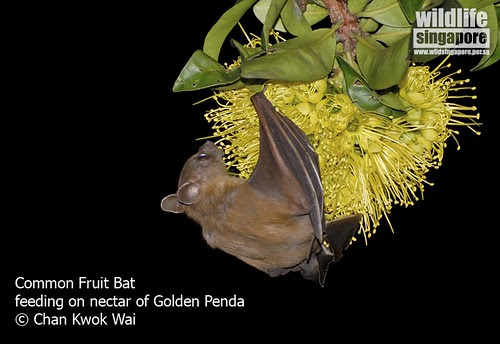 Common Fruit Bat feeding on nectar of Golden Penda flower.