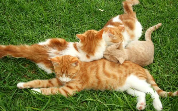 cats022 (620x388, 58Kb)