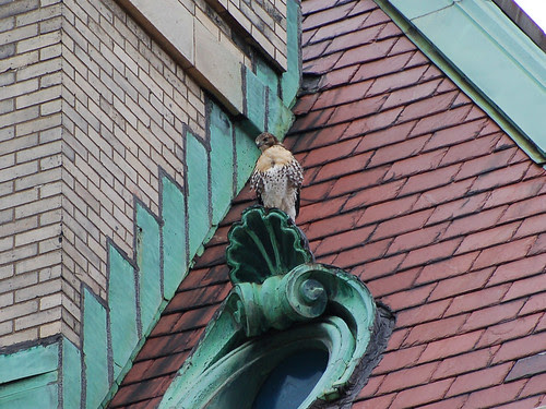 Red-Tail Fledgling atop St. Luke's