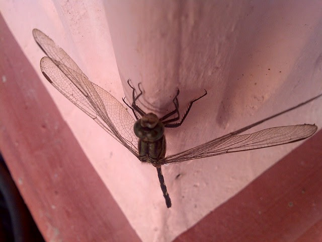 Dragonfly (Pepatung)