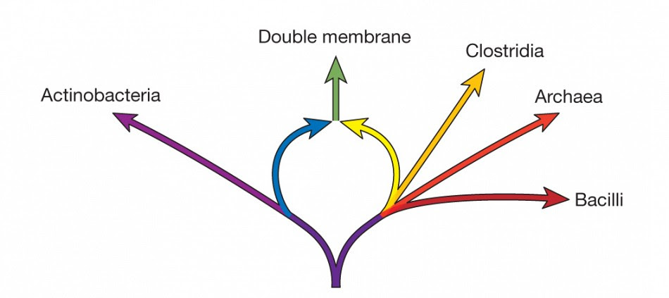 A schematic diagram illustrating the prokaryotic ring of life. The actinobacterial genome donor, at the left (blue), and the clostridial genome donor, at the right (yellow), transfer their genomes to form the doublemembrane prokaryotes at the top of the ring (green). The protein family data identify the Actinobacteria and the Clostridia as donors, and the doublemembrane prokaryotes as the fusion organism.