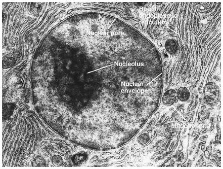 Some features common to animal cells. (Reproduced by permission of Photo