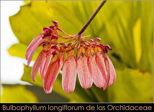 Bulbophyllum longiflorum de las Orchidaceae