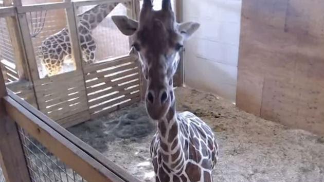 LIVE GIRAFFE CAM: April the Giraffe ready to give birth