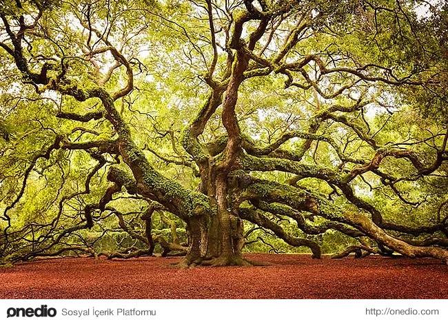 17. Güney Karolina'da kök salmış harika melek meşesi ağacı