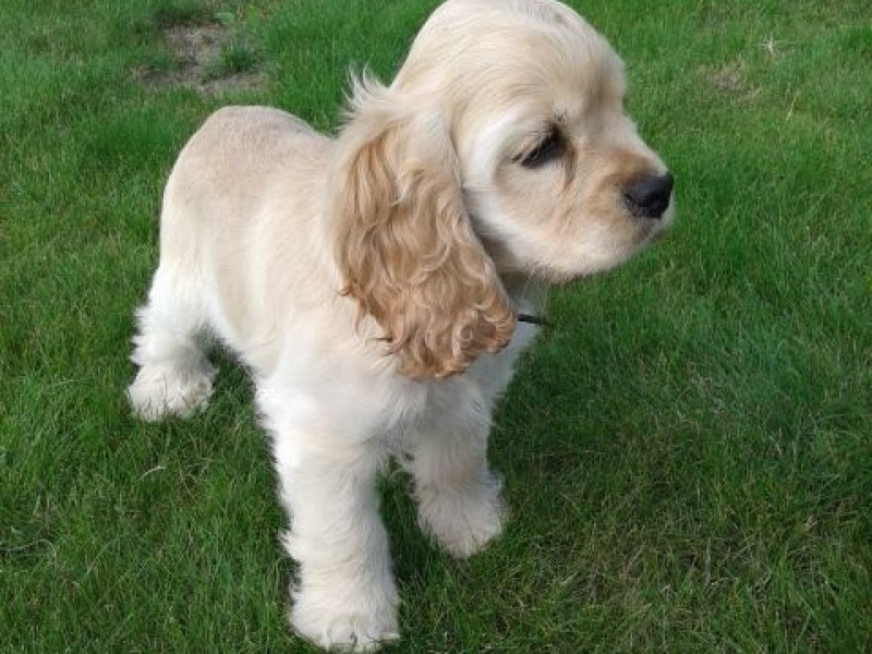 American Cocker Spaniel Puppies | For Sale VIC: Melbourne