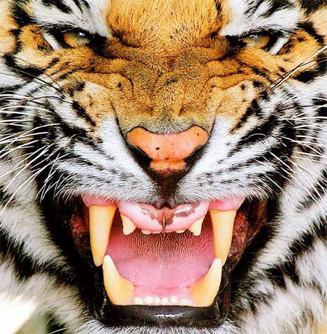 Τίγρη δάγκωσε το χέρι εργαζόμενης σε ζωολογικό κήπο