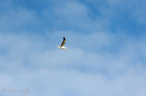 Seagull - Morro Bay | San Louis Obispo